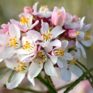 Vrtnarstvo Breskvar - Choisya Scented Gem Lissbrid