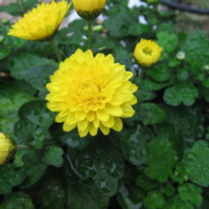 Vrtnarstvo Breskvar - Chrysanthemum grandiflorum