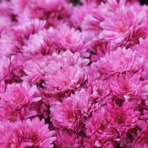 Vrtnarstvo Breskvar - Chrysanthemum hortorum Anastasia