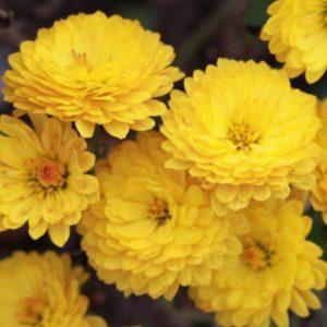 Vrtnarstvo Breskvar - Chrysanthemum hortorum Bienchen