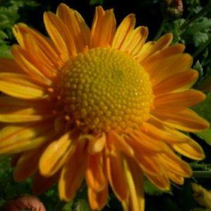 Vrtnarstvo Breskvar - Chrysanthemum hortorum Goldmarianne