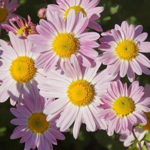 Vrtnarstvo Breskvar - Chrysanthemum hortorum Hebe