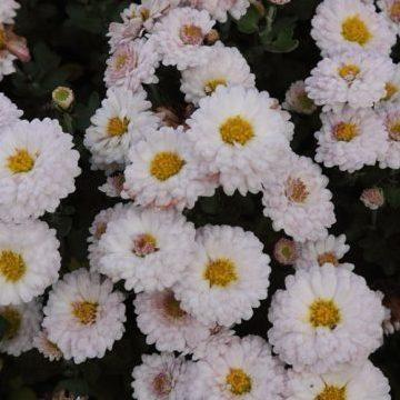 Vrtnarstvo Breskvar - Chrysanthemum hortorum Julia