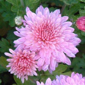 Vrtnarstvo Breskvar - Chrysanthemum hortorum Nebelrose