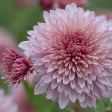Vrtnarstvo Breskvar - Chrysanthemum hortorum Orchid Helen