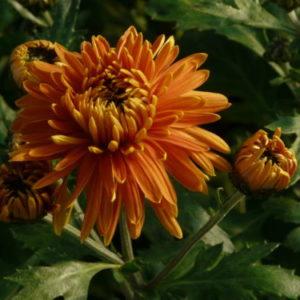 Vrtnarstvo Breskvar - Chrysanthemum hortorum Ordensstern