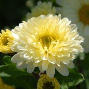 Vrtnarstvo Breskvar - Chrysanthemum hortorum Poesie
