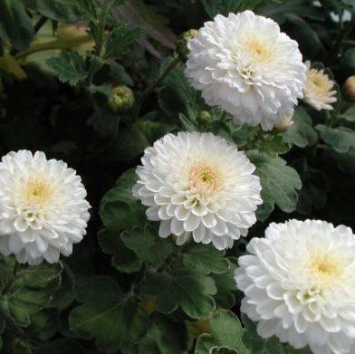 Vrtnarstvo Breskvar - Chrysanthemum hortorum White Bouquet