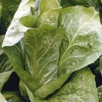 Vrtnarstvo Breskvar - Cichorium Intybus Bravo
