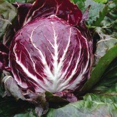 Vrtnarstvo Breskvar - Cichorium Intybus Cesare