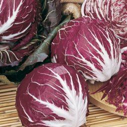 Vrtnarstvo Breskvar - Cichorium Intybus Palla Rosa 5