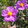 Vrtnarstvo Breskvar - Cistus creticus