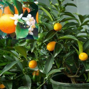 Vrtnarstvo Breskvar - Citrus
