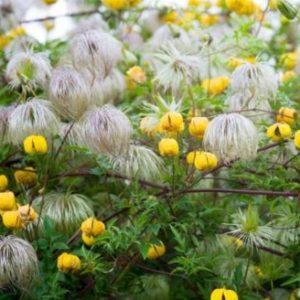 Vrtnarstvo Breskvar - Clematis Bill Mackenzie