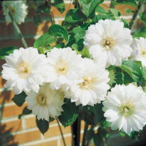 Vrtnarstvo Breskvar - Clematis Duchess of Edinburgh