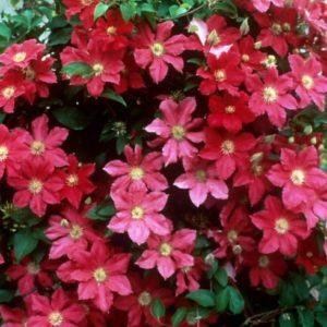 Vrtnarstvo Breskvar - Clematis Ernest Markham
