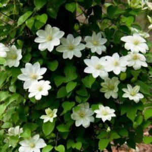Vrtnarstvo Breskvar - Clematis Guernsey Cream