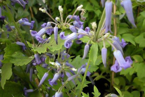 Vrtnarstvo Breskvar - Clematis heracleifolia Cote d' Azur