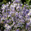 Vrtnarstvo Breskvar - Clematis heracleifolia Mrs R Brydon