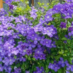 Vrtnarstvo Breskvar - Clematis Jackmanii