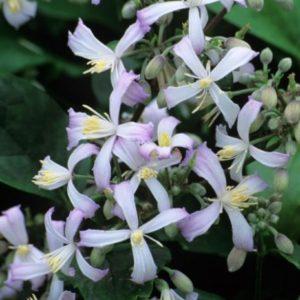 Vrtnarstvo Breskvar - Clematis jouiniana Praecox