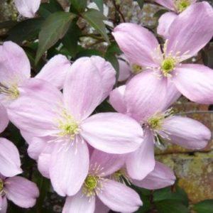 Vrtnarstvo Breskvar - Clematis montana Elizabeth