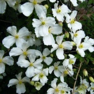 Vrtnarstvo Breskvar - Clematis montana Grandiflora