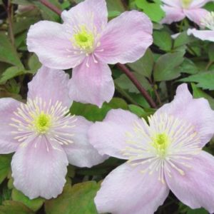 Vrtnarstvo Breskvar - Clematis montana Mayleen