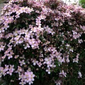 Vrtnarstvo Breskvar - Clematis montana Rubens