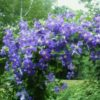 Vrtnarstvo Breskvar - Clematis Perle d' Azur