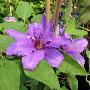 Vrtnarstvo Breskvar - Clematis Proteus
