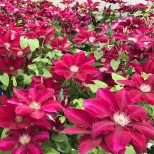 Vrtnarstvo Breskvar - Clematis Rebecca