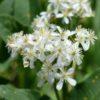 Vrtnarstvo Breskvar - Clematis recta