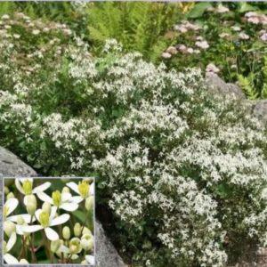 Vrtnarstvo Breskvar - Clematis recta Grandiflora