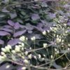 Vrtnarstvo Breskvar - Clematis recta Purpurea