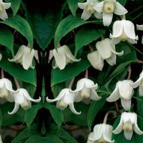 Vrtnarstvo Breskvar - Clematis urophylla Winter Beauty