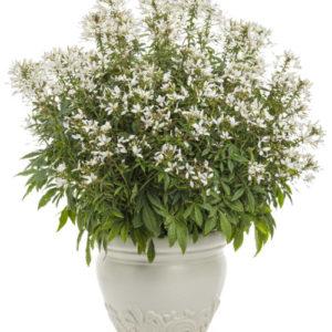 Vrtnarstvo Breskvar - Cleome Senorita Blanca