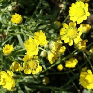Vrtnarstvo Breskvar - Coleostephus multicaulis