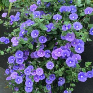Vrtnarstvo Breskvar - Convolvulus sabatius