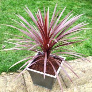 Vrtnarstvo Breskvar - Cordyline australis