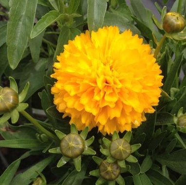 Vrtnarstvo Breskvar - Coreopsis grandiflora Sunray