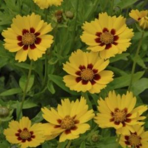Vrtnarstvo Breskvar - Coreopsis lanceolata Sterntaler