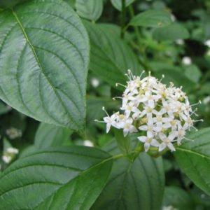 Vrtnarstvo Breskvar - Cornus alba