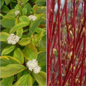 Vrtnarstvo Breskvar - Cornus alba Gouchaultii