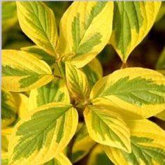 Vrtnarstvo Breskvar - Cornus alba Spaethii