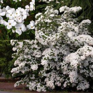 Vrtnarstvo Breskvar - Cornus Eddie's White Wonder