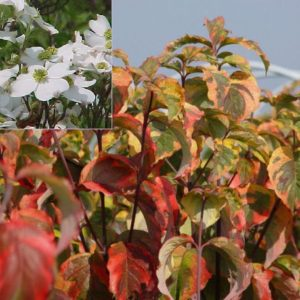 Vrtnarstvo Breskvar - Cornus florida Rainbow