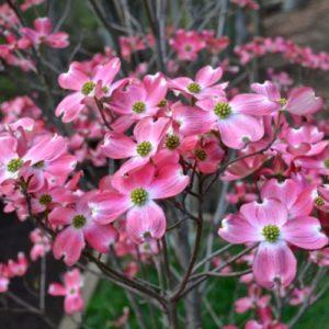 Vrtnarstvo Breskvar - Cornus florida Rubra