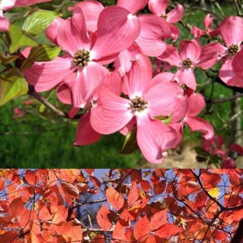 Vrtnarstvo Breskvar - Cornus florida Sweetwater Red