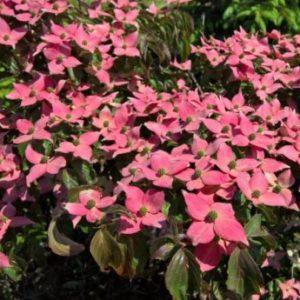 Vrtnarstvo Breskvar - Cornus Kousa Beni Fuji